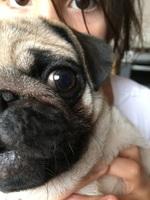 Ojos inflamados en perros, Pug