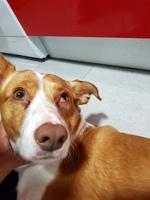 Ojos inflamados en perros, Podenco ibicenco