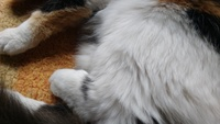 Rigidez en las patas traseras en gatos, Angora turco