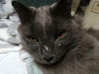Falta de pelo alrededor de los ojos en gatos, Azul ruso