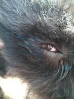 Neblina azul o grisácea en los ojos en perros, Perro de agua español