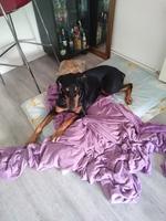 Estreñimiento en perros, Dobermann