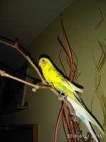 Jadeo en aves, Periquito de cara amarilla tipo II
