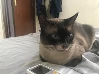 Zeus, mi gato siamés macho, tiene pérdida de piel, aumento de peso y ansiedad al comer