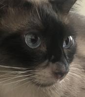 Pérdida de piel en gatos, Siamés