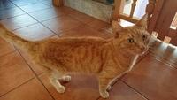 Deshidratación en gatos, Común europeo