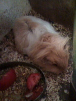 Mal apetito en roedores, Cobaya