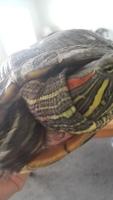 Franklin, mi reptil tortuga de orejas rojas hembra, tiene mal apetito y heridas