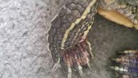 Mal apetito en reptiles, Tortuga de orejas rojas