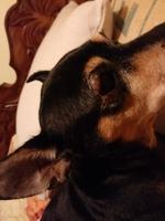 Luna, mi perro cruce de pinscher miniatura hembra, tiene ojos rojos y ojos inflamados