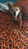Dificultad al masticar en perros, Pinscher miniatura