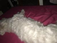 Respiración acelerada en perros, Bichon maltés