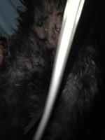 Luna, mi perro cruce de yorkshire terrier hembra, tiene vagina abultada o inflamada