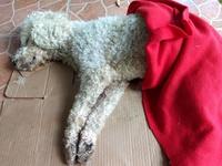Ham, mi perro desconocida macho, tiene vómito, convulsiones y tics nerviosos