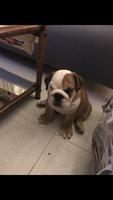 Respiración acelerada en perros, Bulldog inglés