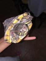 Petra, mi reptil tortuga de orejas rojas hembra, tiene mordeduras
