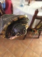 Mordeduras en reptiles, Tortuga de orejas rojas