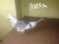 Pérdida de pelo en aves, Cacatúa ninfa