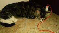 Cansancio o fatiga en gatos, Común europeo