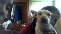 Inflamación boca en perros, Chihuahueño