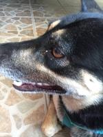 Negra, mi perro desconocida hembra, tiene pérdida de pelo, garrapatas y ojos rojos