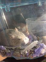 Alex, mi roedor jerbo hembra, tiene debilidad