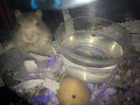 Debilidad en roedores, Jerbo
