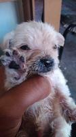 Diarrea amarilla en perros, Chihuahueño