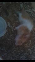 Respiración ruidosa en roedores, Hámster