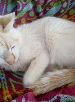 Come cosas no alimenticias (Plásticos, calcetines etc.) en gatos, Desconocida
