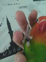 Pimkie, mi ave agapornis roseicollis hembra, tiene dolor de pata