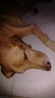 Letargo en perros, Labrador