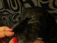 Ojos inflamados en perros, Cocker spaniel americano