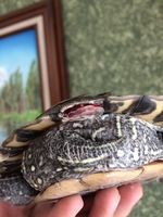 Tortus, mi reptil tortuga macho, tiene heridas