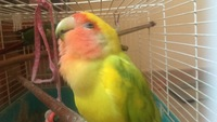 Respira con dificultad en aves, Agapornis roseicollis