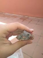 Ryu, mi reptil tortuga orejas amarillas macho, tiene heridas que no curan o cicatrizan