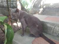 Respira con dificultad en gatos, Azul ruso