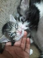 Tom, mi gato desconocida macho, tiene mal aliento, sangre en la boca y encías inflamadas
