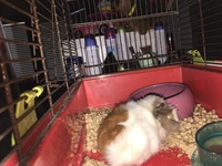 Coby, mi roedor cobaya hembra, tiene dificultad al caminar o levantarse
