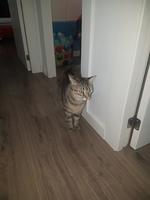 Tengo dudas sobre el comportamiento de Kalessy, mi gato europeo de pelo corto hembra
