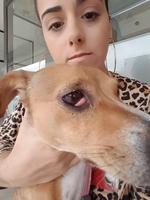 Hindie, meu cão fêmea jack russell terrier, tem nódulo no olho e inflamação da glândula dos olhos
