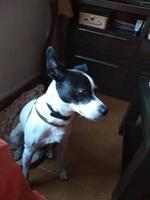 Desorientación en perros, Ratonero bodeguero andaluz