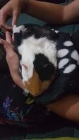 Vómito en roedores, Cobaya