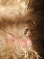 Itching and Scratching en dogs, Poodle