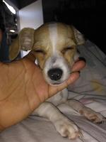 Vómito verde en perros, Chihuahueño