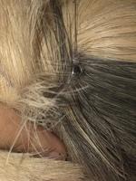 Kiwi, mi roedor cobaya hembra, tiene dolor al contacto y heridas