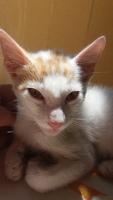 Bicho, mi gato cruce de común europeo macho, tiene debilidad, pulgas y bulto en la piel