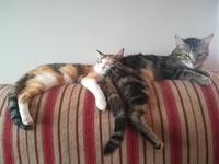 Abdomen inflamado en gatos, Europeo de pelo corto