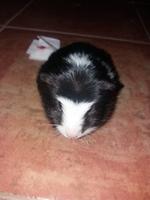 Morritos, mi roedor cobaya hembra, tiene sangrado anal y mal apetito