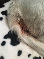 Fluido vaginal con sangre en perros, Desconocida